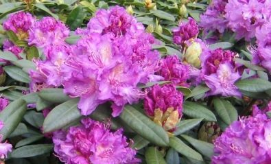 Rhododendron ´Alfred´