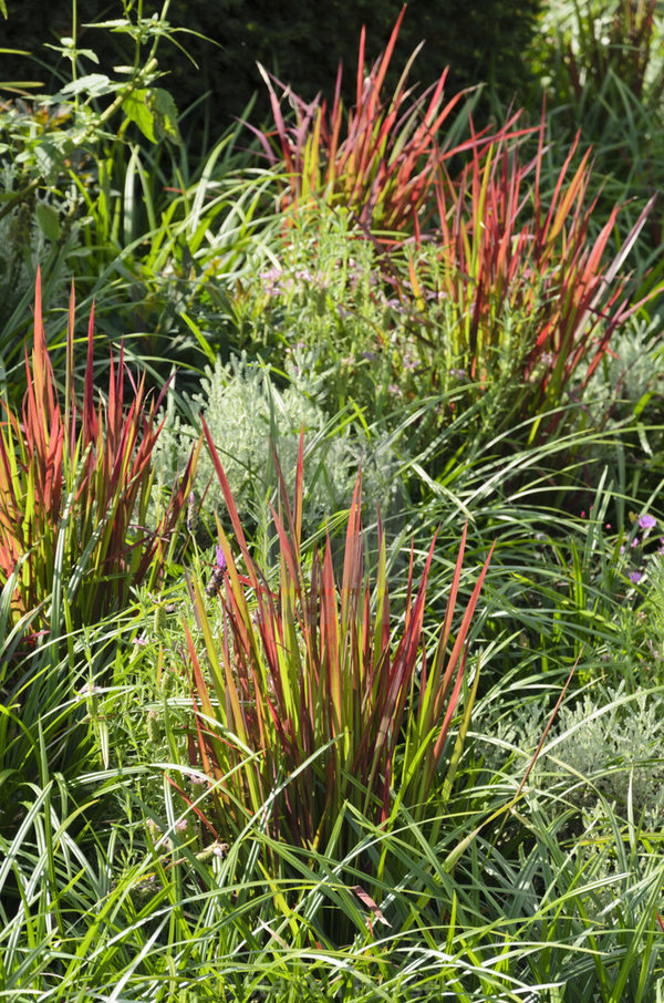 Japans Bloedgras (Imperata cylindrica 'Red Baron')